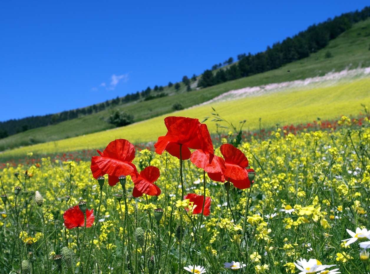 Flowers Photos Good Sights Italy Castelluccio Di Norcia The