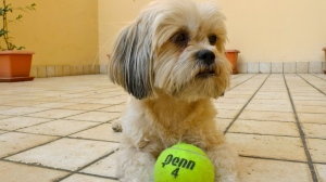 Misu with her beloved tennis ball | ©Tom Palladio Images