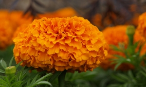 Marigolds in Regents Park - London, UK - ©Tom Palladio Images