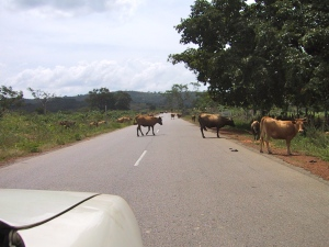 Livestock on the Kankan-Conakry road | ©Tom Palladio Images