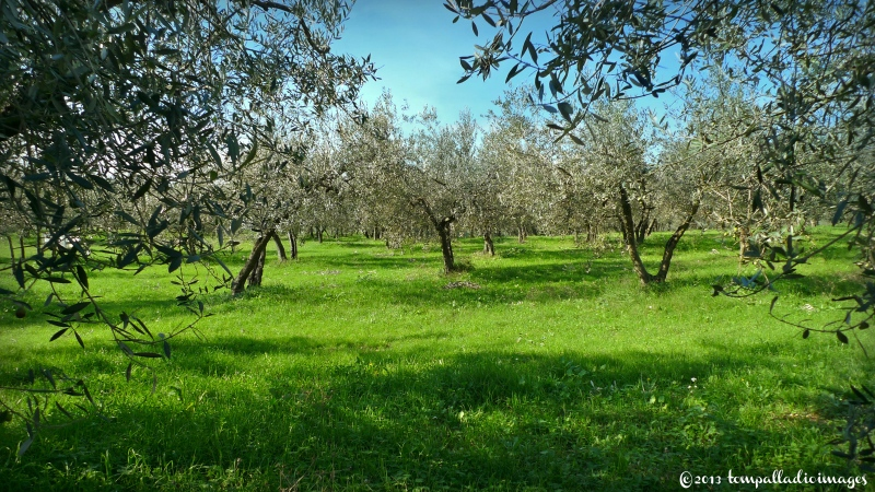 Country Roads: Picking out a Virgin in the Olive Groves | ©Tom Palladio Images