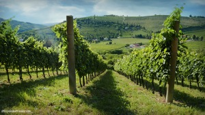 The vineyards of Valnogaredo, Colli Euganei (PD), Italy