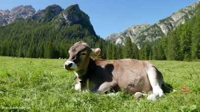 Contented brown cow in the Italian Dolomites
