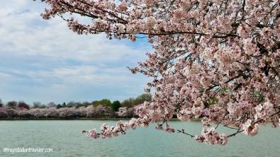 Cherry Blossom 102