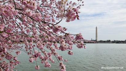 Cherry Blossom 105