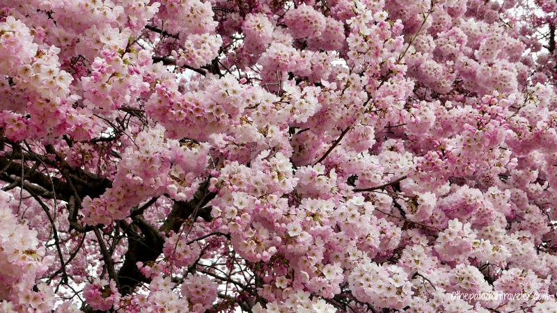 Cherry Blossom 106