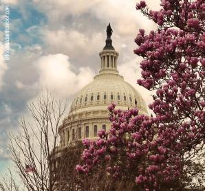 Cherry Blossom 109