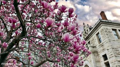 Cherry Blossom 111